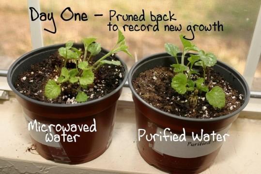 micro-ondes-plantes-jour1-21